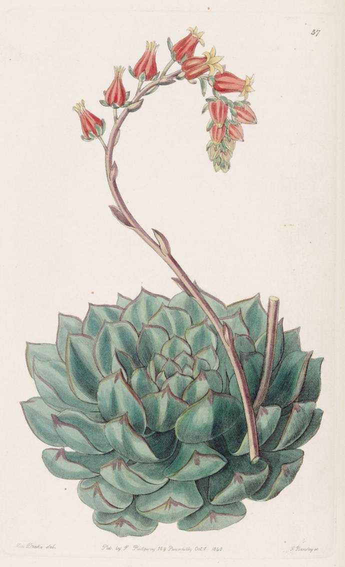 Botanical watercolor study of a succulent